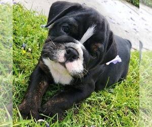 Bulldog Puppy for Sale in SAN DIEGO, California USA