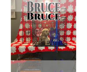English Cream Golden Retriever Puppy for sale in HUNTSVILLE, TX, USA