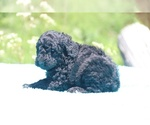 Small #17 Poodle (Standard)