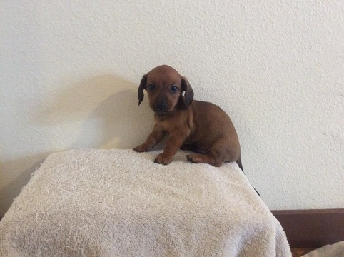 View Ad Dachshund Puppy For Sale Near Colorado Byers Usa Adn 23903