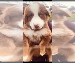 Australian Shepherd Puppy for Sale in PINE BUSH, New York USA