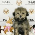 Maltese-Poodle (Standard) Mix Puppy For Sale in TEMPLE CITY, CA, USA