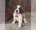 Puppy 5 Saint Bernard
