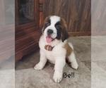 Puppy 5 Saint Bernard