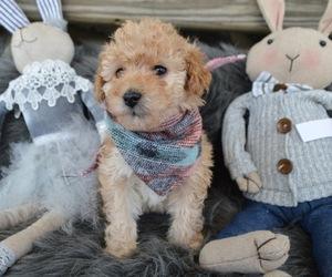 Poodle (Miniature) Dog for Adoption in HONEY BROOK, Pennsylvania USA