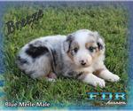 Breeze Mini Blue Merle Male Aussie