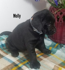 Labrador Retriever Puppy for sale in CATO, NY, USA