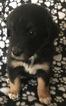 Australian Shepherd Puppy For Sale in VANCOUVER, Washington,