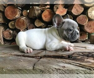 French Bulldog Puppy for sale in DEERFIELD BEACH, FL, USA