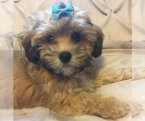 ShihPoo Puppy for Sale in FREDERICK, Maryland USA