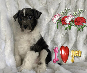 Mauzer Puppy for sale in SAN FRANCISCO, CA, USA