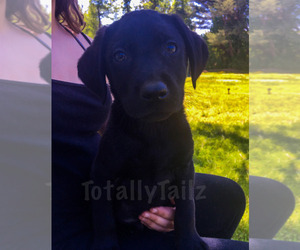 Labrador Retriever Puppy for sale in MATTAPOISETT, MA, USA