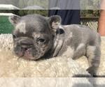 Small #35 French Bulldog