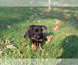 Minnie Jack Puppy for sale in SHILOH, OH, USA