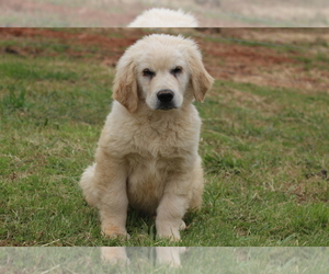 Golden Retriever Puppy for sale in DILLWYN, VA, USA