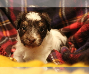 F2 Aussiedoodle Puppy for sale in CATO, WI, USA