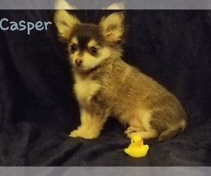 Chihuahua Puppy for Sale in MANSFIELD, Texas USA