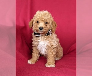 Poodle (Miniature) Puppy for sale in HOLTWOOD, PA, USA