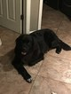 Newfoundland Puppies due July 1 2018