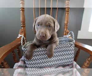 Labrador Retriever Dog for Adoption in KALAMAZOO, Michigan USA