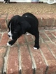 Boxer Puppy For Sale in CLARKSVILLE, Tennessee,