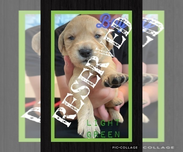 Medium Photo #11 Golden Retriever Puppy For Sale in TEMPLE, TX, USA