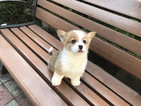 Pembroke Welsh Corgi Puppy For Sale in SAN FRANCISCO, California,