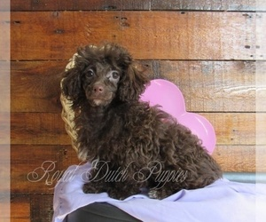 Poodle (Toy) Puppy for sale in LE MARS, IA, USA