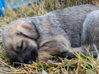 Irish Wolfhound Puppy For Sale in NEW BRAUNFELS, TX, USA