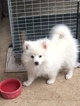 American Eskimo Dog Puppy For Sale in BURKSVILLE, IL, USA