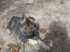 German Shepherd Dog Puppy For Sale in ELSBERRY, MO,