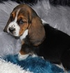 Basset Hound Puppy For Sale in THAYER, MO, USA