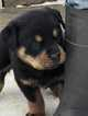 Rottweiler Puppy For Sale in EAST WALLINGFORD, VT, USA