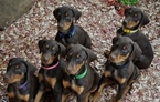 Doberman Pinscher Puppy For Sale in GLEN ALLEN, VA, USA
