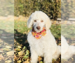 Poodle (Standard) Puppy for sale in SARATOGA SPRINGS, UT, USA