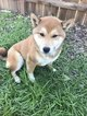 Shiba Inu Puppy For Sale in VACAVILLE, CA, USA