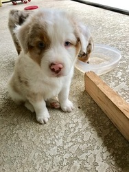 Australian Shepherd Puppy For Sale in JUPITER, FL