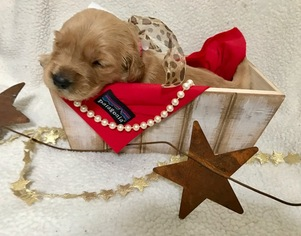 Golden Retriever Puppy for sale in BEND, OR, USA
