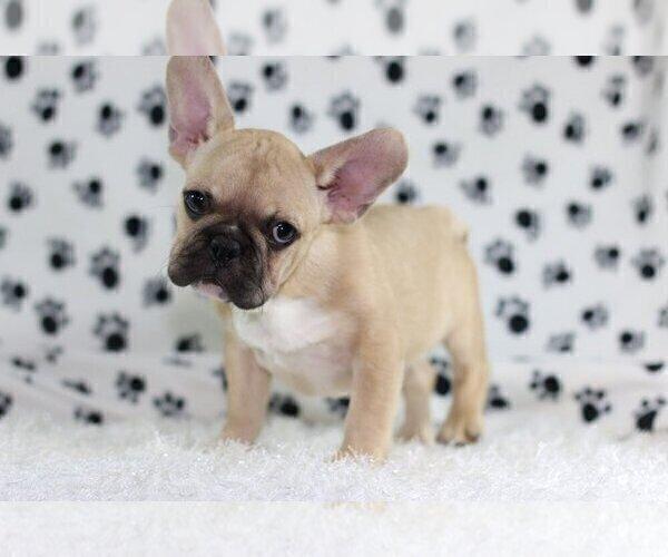 Medium Photo #2 French Bulldog Puppy For Sale in GRAPEVINE, TX, USA