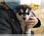 Puppy 1 Akita-Alaskan Malamute Mix