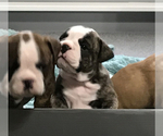 Small Photo #5 Bulldog Puppy For Sale in OAK RIDGE N, TX, USA