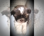 Small Photo #6 Shih Tzu Puppy For Sale in OTTAWA, OH, USA