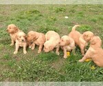 Golden Retriever Puppy For Sale in SPOKANE, WA, USA