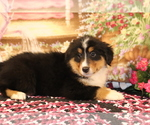 Small Photo #4 Bernese Mountain Dog-Collie Mix Puppy For Sale in SHILOH, OH, USA