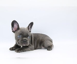 French Bulldog Puppy for sale in BANCROFT, KY, USA