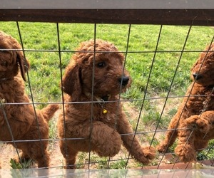 Poodle (Standard) Puppy for sale in WEST FORK, AR, USA