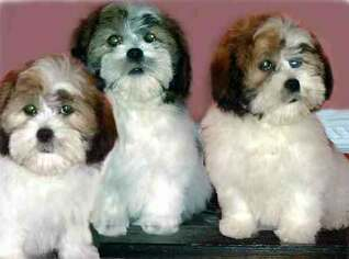 Lhasa Apso Puppy For Sale in RIDGEVILLE, SC, USA