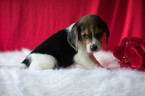 Beagle Puppy For Sale in KENT, Ohio,