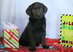 Black Lab Puppy For Sale