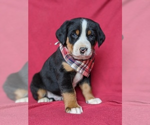 Greater Swiss Mountain Dog Puppy for sale in CHRISTIANA, PA, USA